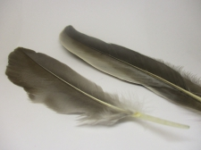 Feathers 18cm 20pcs #19 grey